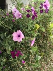 petunias close up